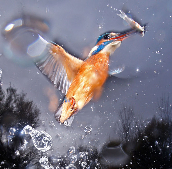 KINGFISHER_A9T7493-Jose-Luis-Rodriguez